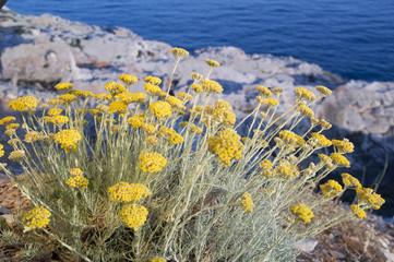 Sardinië bloem