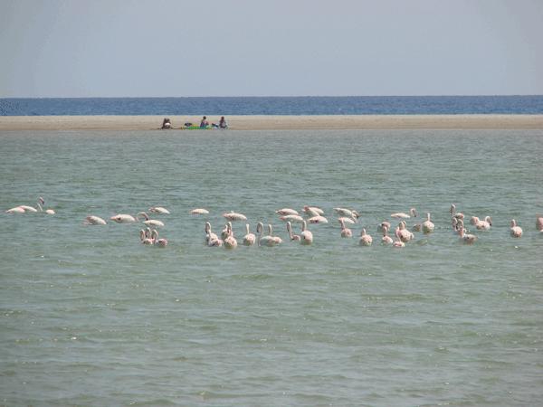 Flamingos Villassimius Sardinië