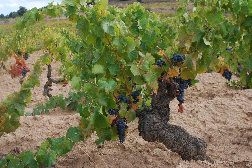 wijn sardinie
